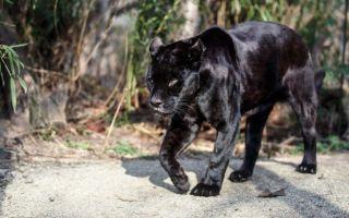 Чем отличается пума от пантеры
