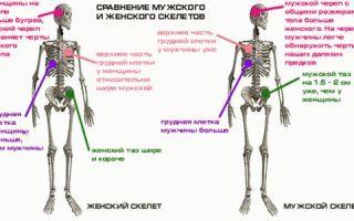 Чем отличается мужской скелет от женского