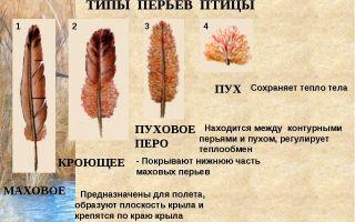 Чем отличается пух от пера