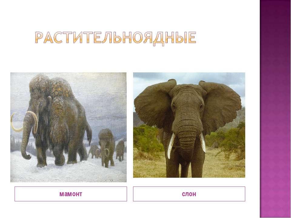 известно, мамонт и слон сравнение картинки увы, картинки